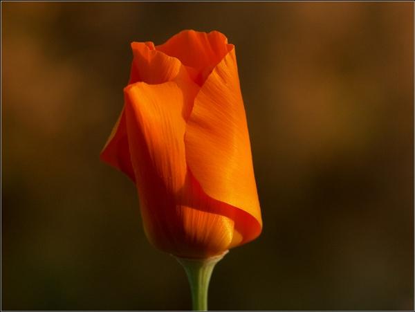 California Poppy Sunset by Ajanovic