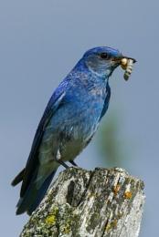 Mountain Bluebird (m)