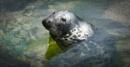 Grey Seal by Fefe