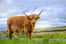 Highland Cattle by clive burrow