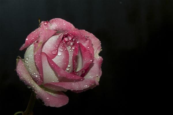 nice rose by binder1