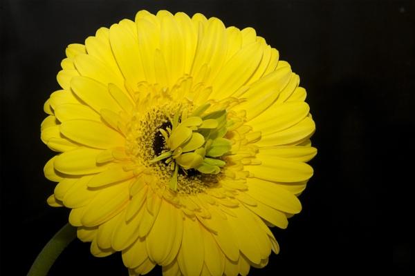 yellow gerber by binder1