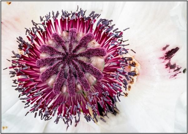 White Poppy by capto