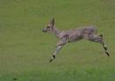 Full flight (grey duiker) by johnke