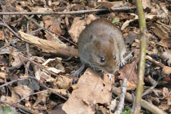 Bank Vole by Ted447