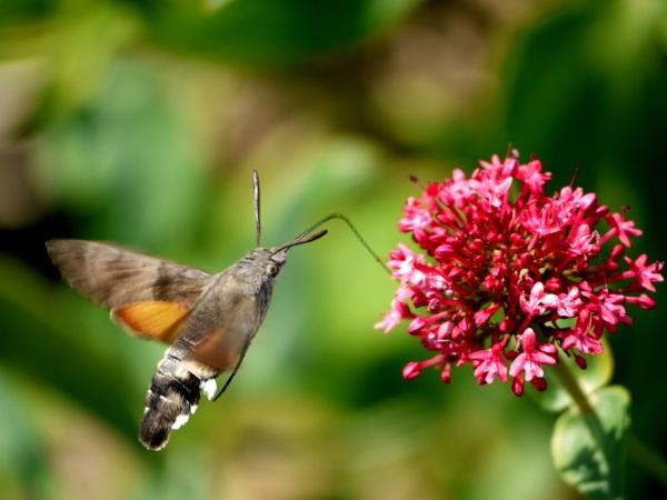 Hummingbird hawk moth by DerekHollis