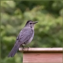 Grey Catbird by taggart