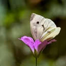 Cabbage White by taggart