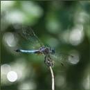 The Blue Dasher by taggart