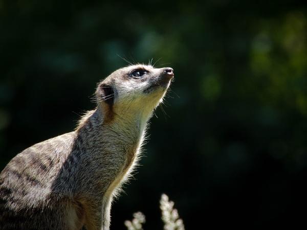 Meerkat by DaveRyder