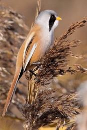 Bearded Reedling--Panurus biarmicus