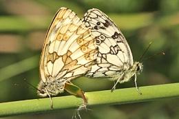 Marbled Whites--Melanargia galathea