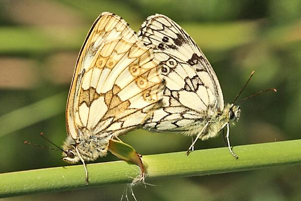 Marbled Whites--Melanargia galathea by bobpaige1