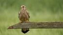 Kestrel by jasonewell