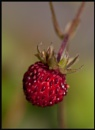 Strawberry Portrait by Morpyre