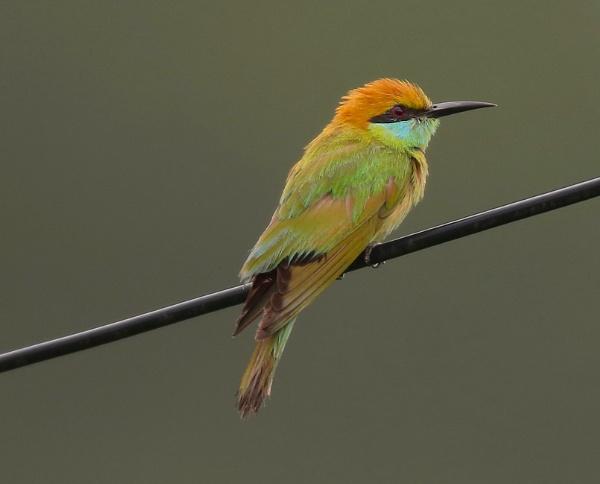 Green bee-eater by paul_kinnock