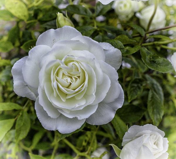 White rose by BillRookery