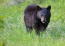 Black Bear Cub by notjustcolour