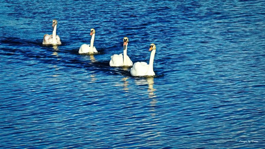 I Saw Four Swans Go Sailing By.