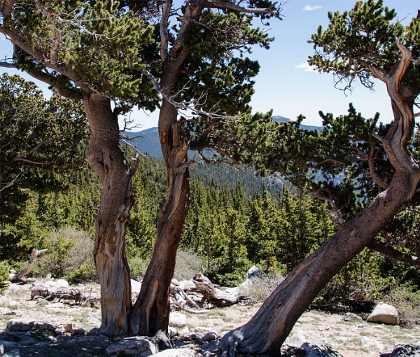 Ancient Bristlecone Pines. Mount Goliath, Colorado by Janetdinah