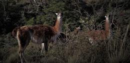 Smiling Wild Guanacos in Patagonia
