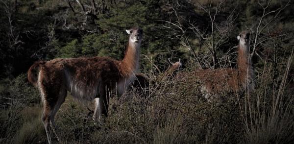 Smiling Wild Guanacos in Patagonia by PentaxBro