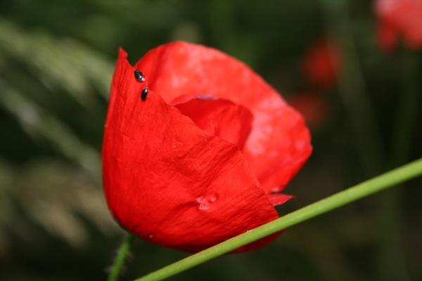 Poppy by Sirsnapsalot