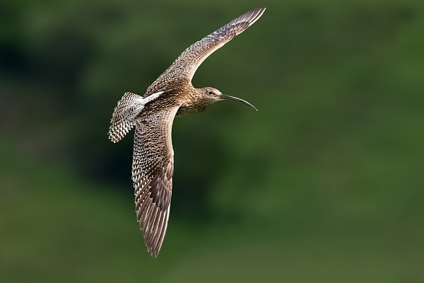 Curlew (Numenius arquata) by DerekL