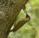 Green Woodpeckers by KBan