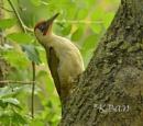 Green woodpecker by KBan