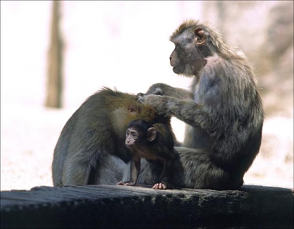 flees & monkeys by macdaniel