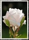 Garden Rose by Rock