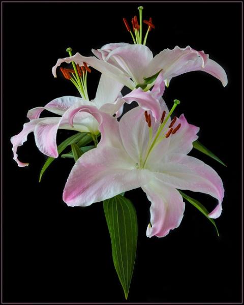 Lillies by trickydicky