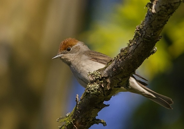 Female Blackcap by ringyneck