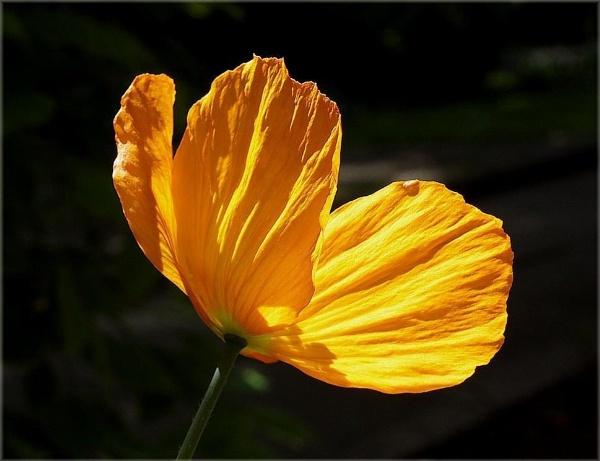 Welsh Poppy by HobbitDave