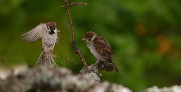 sparrows by maratsuikka
