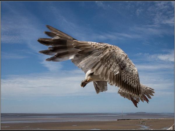 Juvenile Gull by Otinkyad