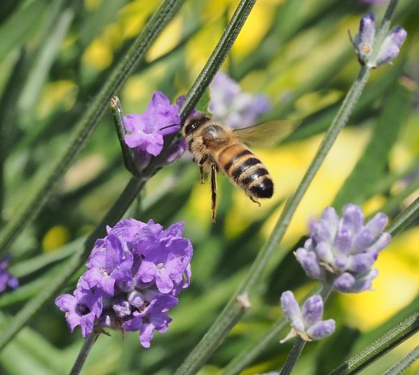 Honeybee on Lavender by nclark