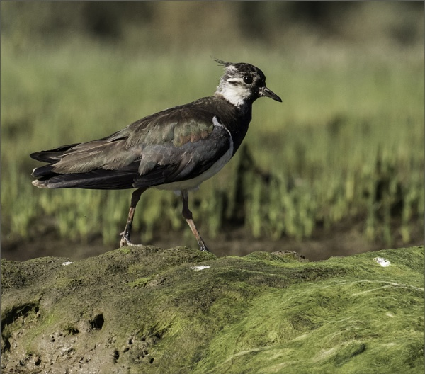 Young Lapwing by esoxlucius