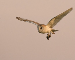 Barn Owl with kill