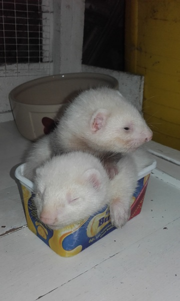 Baby Ferrets 6 weeks old. In the Butter tub boat by YoungGrandad