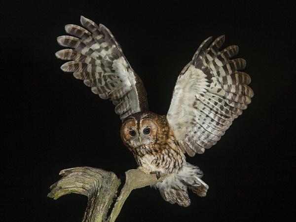 Tawny Owl arriving by Jamie_MacArthur