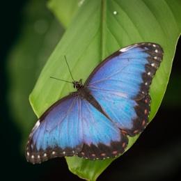 Blue Morpho (Morpho helenor peleides)