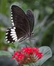 Common Mormon (Papilio polytes) by jasonrwl