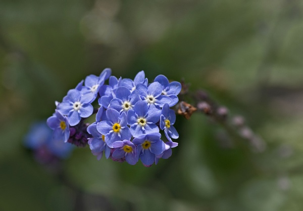 Forget-me-not by CaroleS