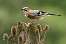 Jay & Teasels by Louise_Morris