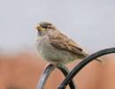 Juvenile Sparrows by kaz1