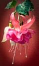 Fuchsia by headskiesfly