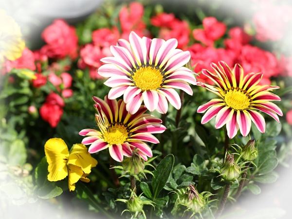Gania in Bloom by pf