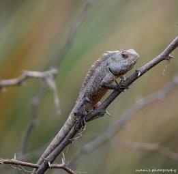 Chameleon family ?